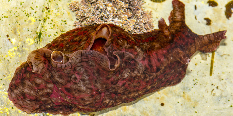photo image Researchers claim to have transferred a memory between two sea slugs
