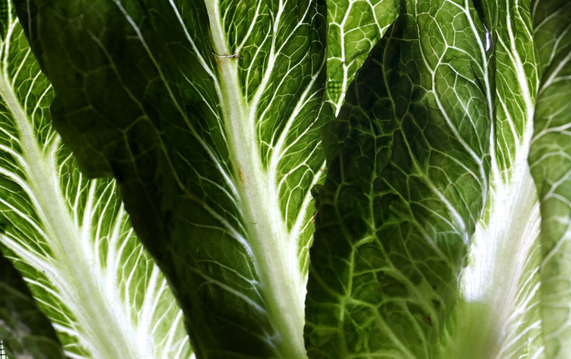A close-up of romaine lettuce stalks