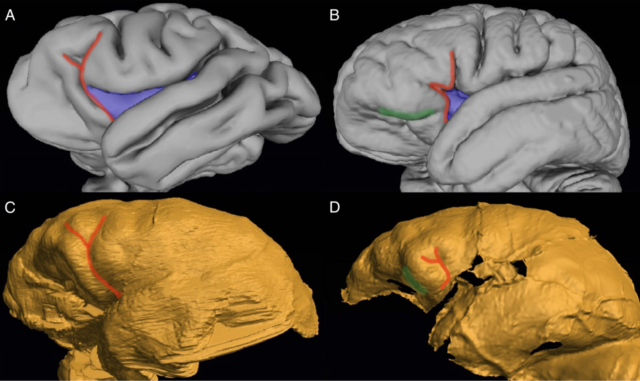 A: 3D model of a Chimpanzee brain; B: 3D model of a human brain; C: endocast of an <em>Australopithecus sediba</em> skull; D: endocast of a <em>Homo naledi</em> skull.
