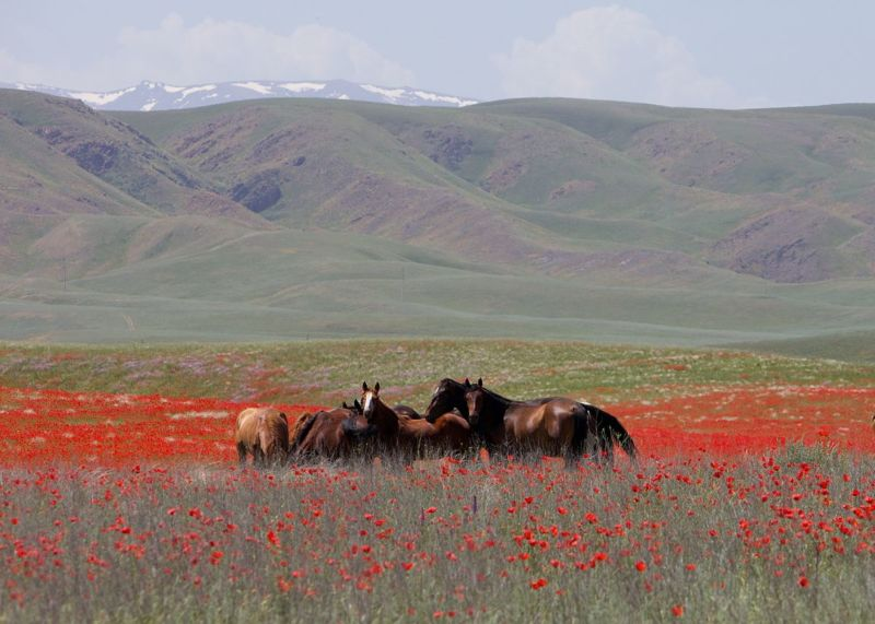 Horses on the Kazakh Steppe.