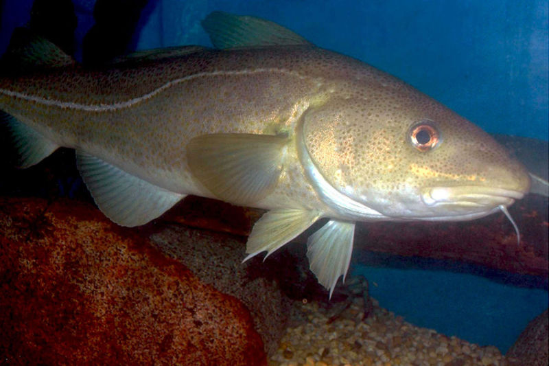 Image of a cod.