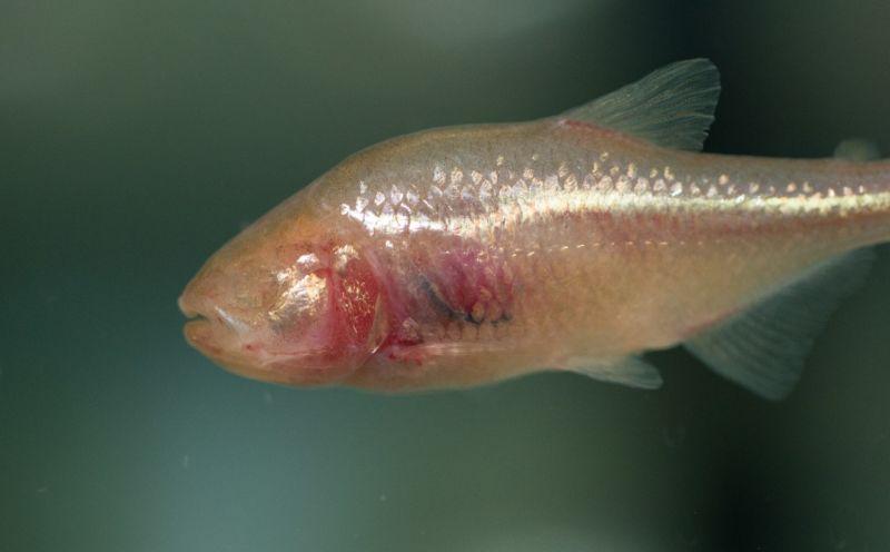 Image of an eyeless fish