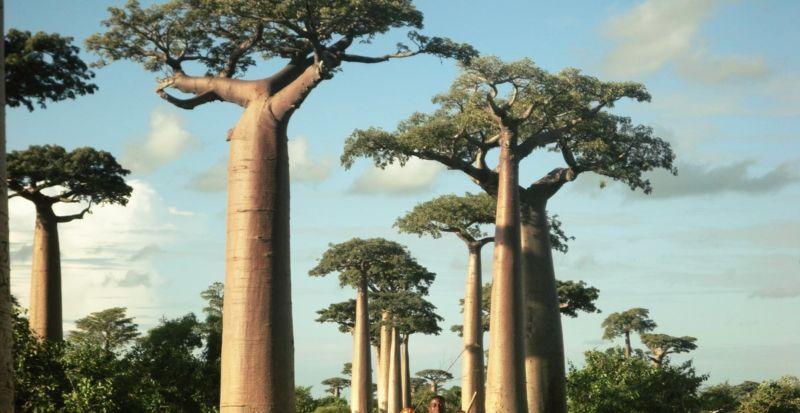 Image of baobab trees.