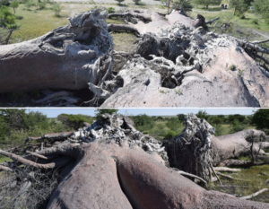 The researchers provided images of some of the dead baobabs.