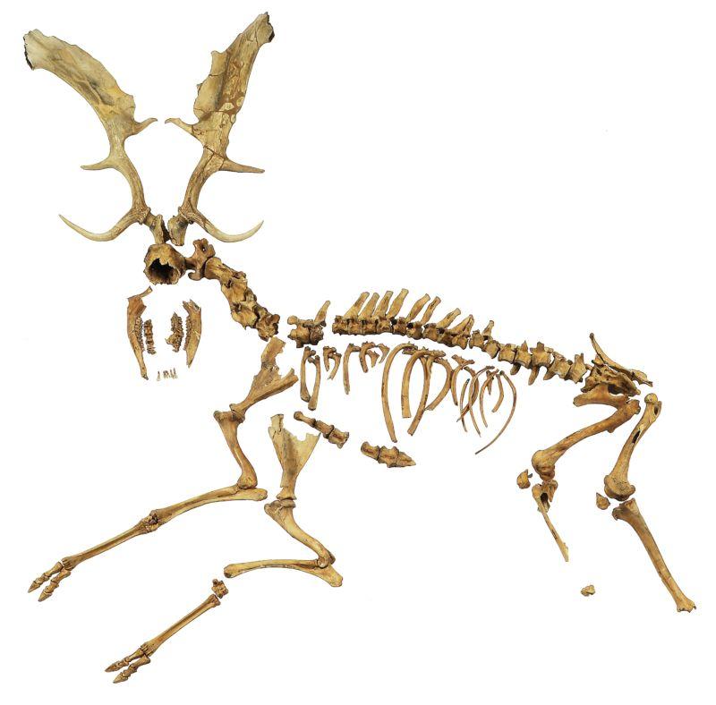 Deer skeleton.