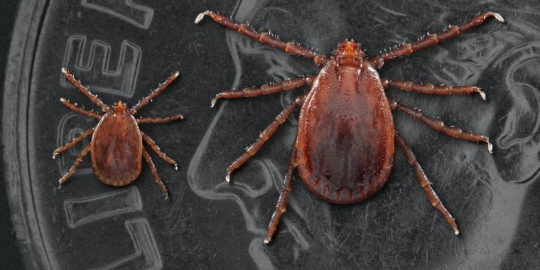 US invaded by savage tick that sucks animals dry, spawns without mating