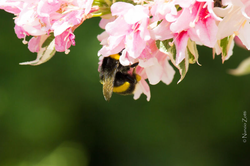 A bee interacts with a pink flower.