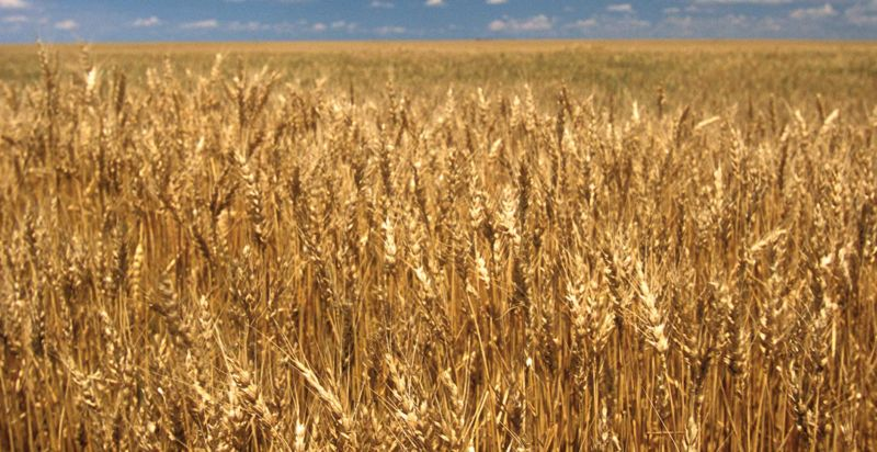 High quality genome sequence will revolutionize wheat crops Read more
