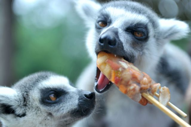 Ring-tailed lemurs eat frozen pastry because they have big brains and know frozen pastry is delicious.