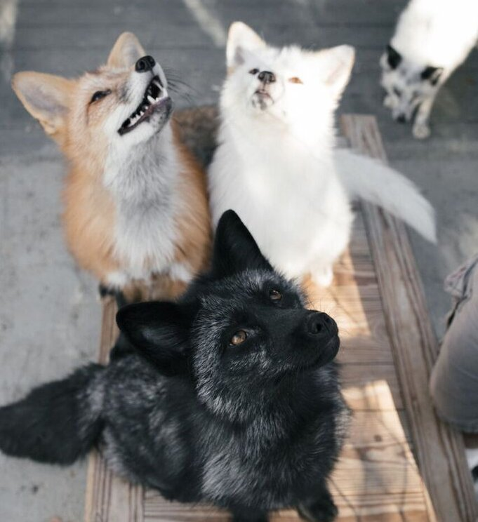 Russian domesticated foxes