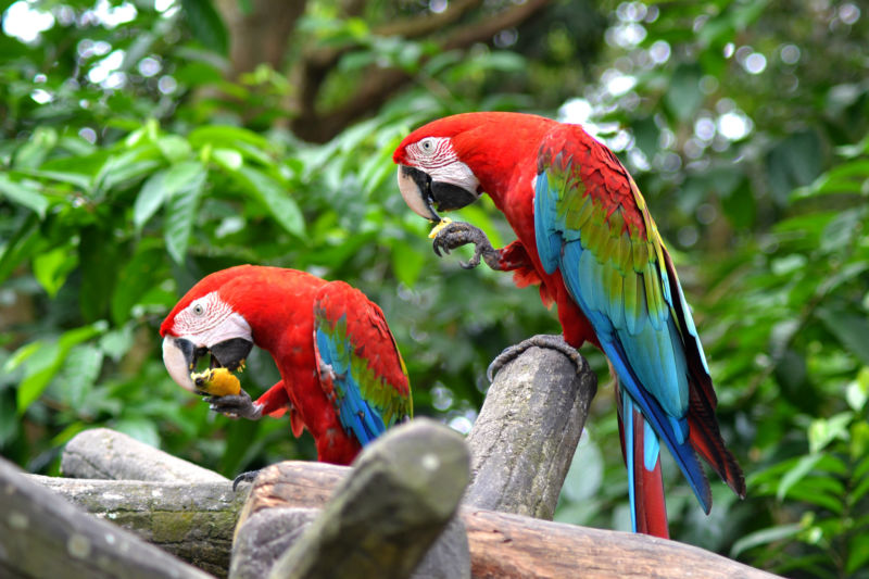 two perching scarlett macaws