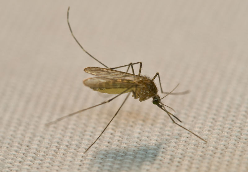 Image of a mosquito.
