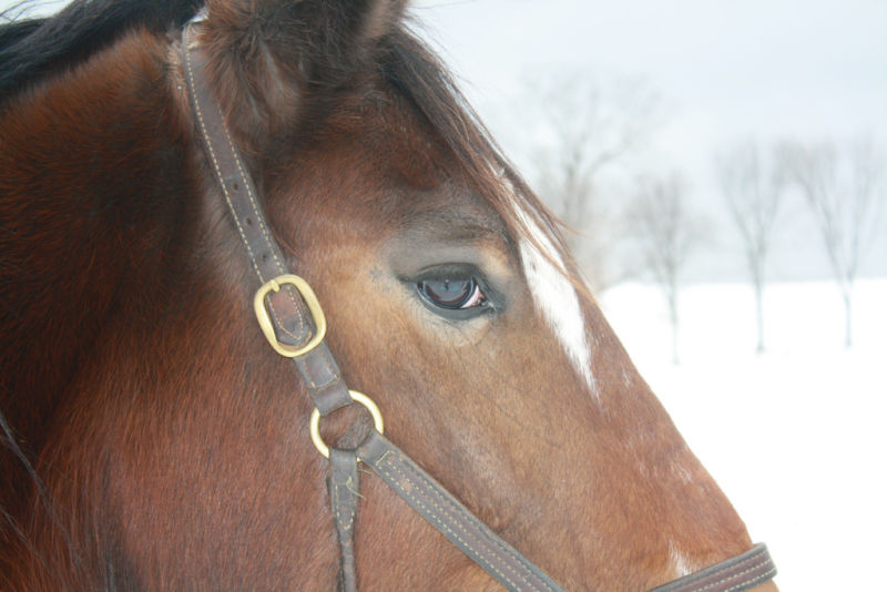 Side view of a head of a brown horse, wearing a halter. The eye looks a bit sad.
