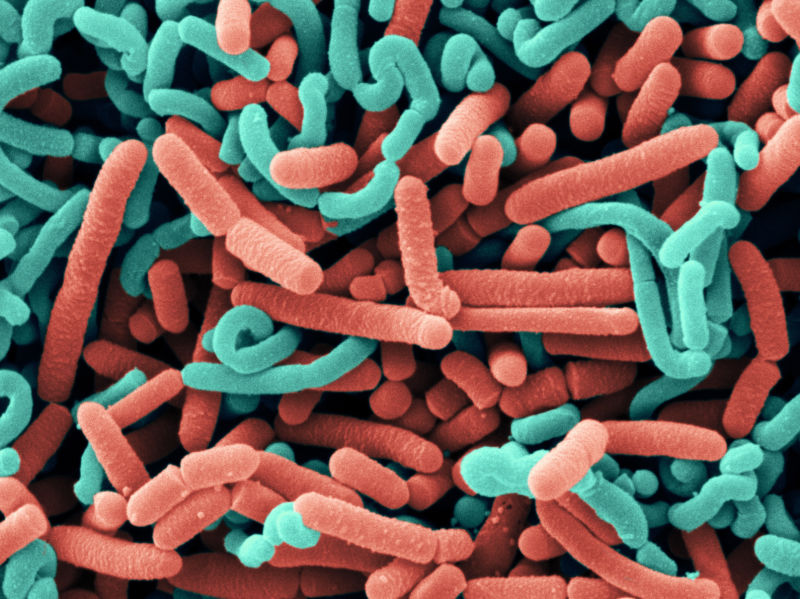 A scanning electron micrograph of two probiotic bacterial strains, colored blue and red