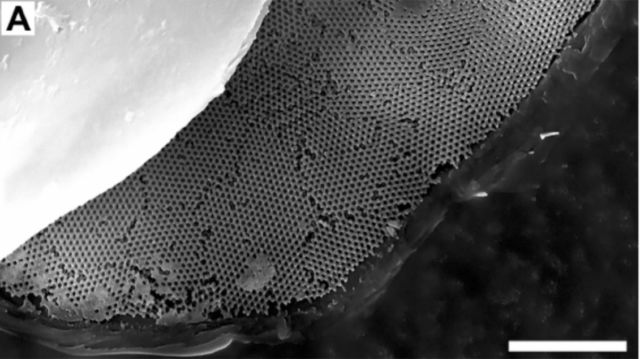 SEM image of the rainbow weevil's intricate wing structure.