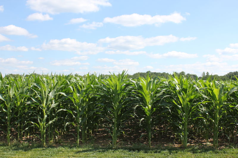 Image of young corn plants.