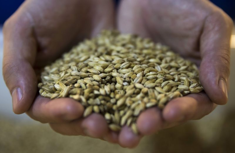 Barley grain used in the production of beer at the Asahi Kanagawa Brewery in Japan.