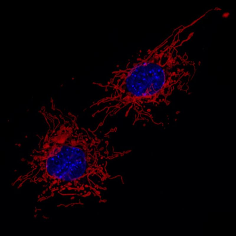 Mitochondria (red) and cell nucleus (blue) of two connective tissue cells prepared from mouse embryo.