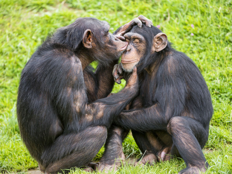 The extent that chimps engage in social grooming is different between groups.
