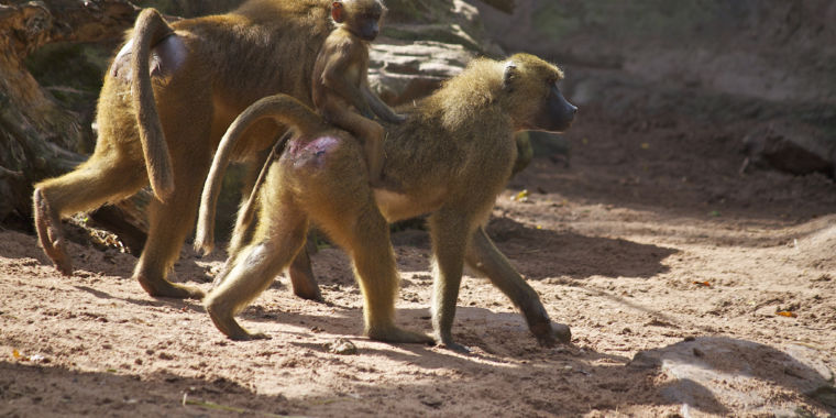 Some Clues About Why Male Guinea Baboons Fondle Each Other's Genitals