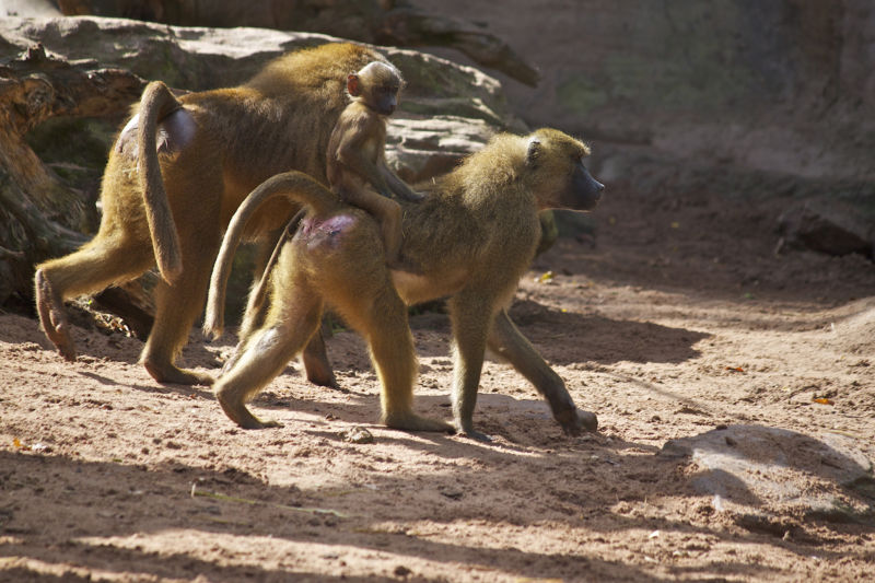 Two baboons out for a walk carrying a third, infant baboon.