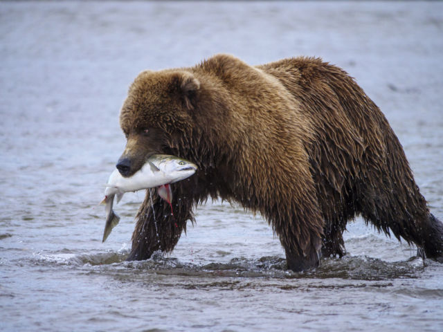 Salmon face a host of challenges in Alaska.