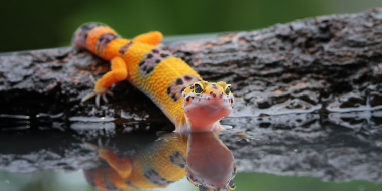 The new superpower of Geckos is running on water. Now we know how they do it