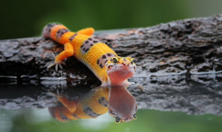 Geckos' new superpower is running on water; now we know how they discontinue it