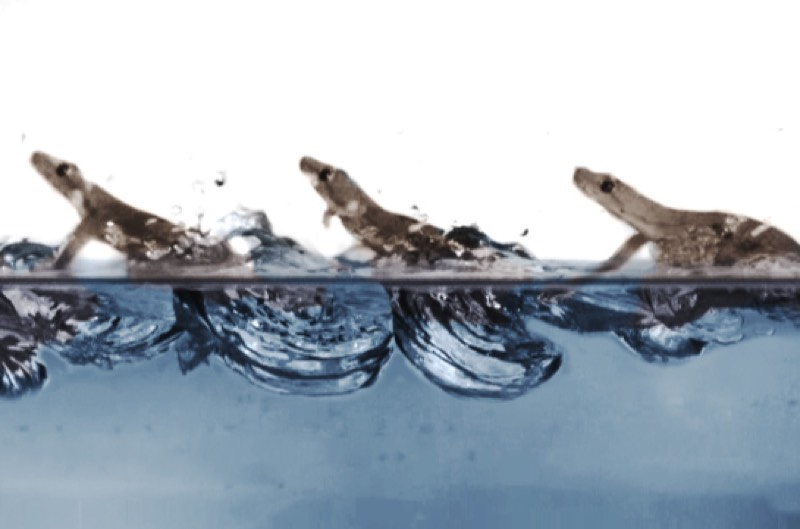 The unique gait of the gecko on water as captured on camera.