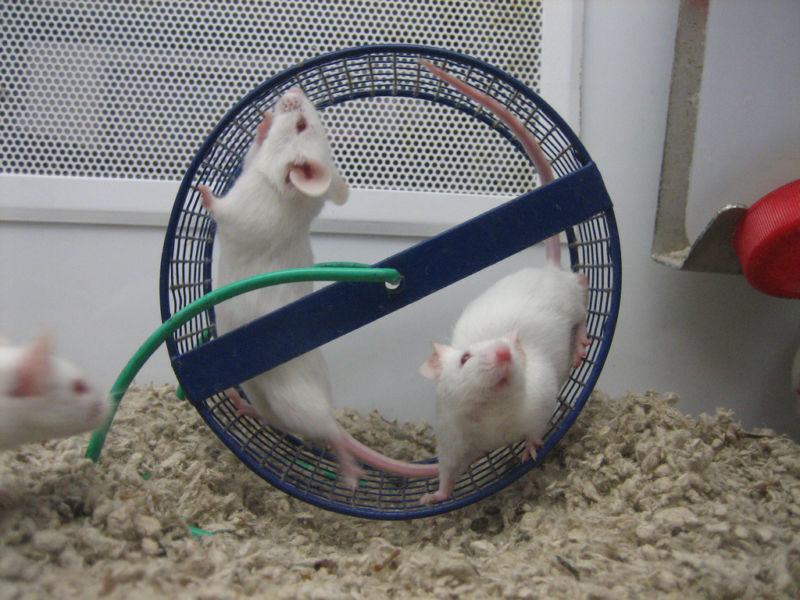 Image of 2 mice in a wheel.
