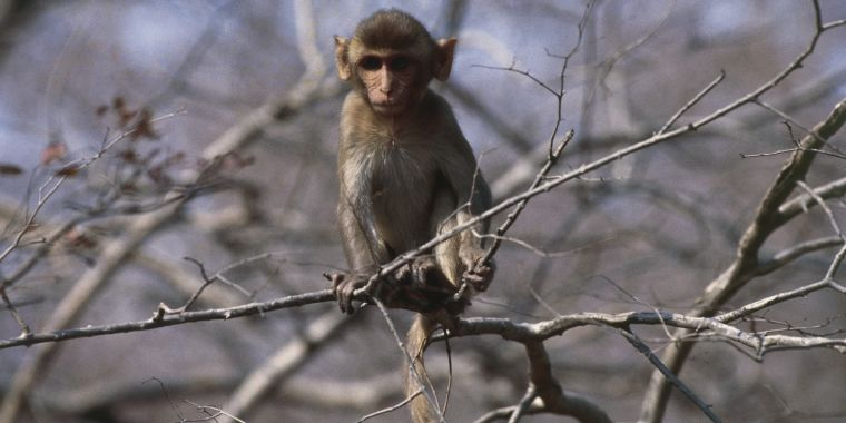 Wild monkeys with killer herpes are breeding like crazy in Florida