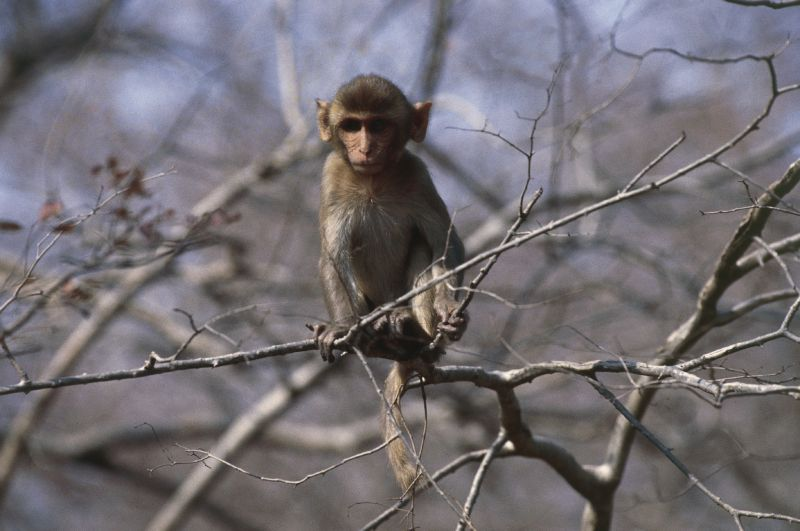 Wild monkeys with killer herpes are breeding like crazy in