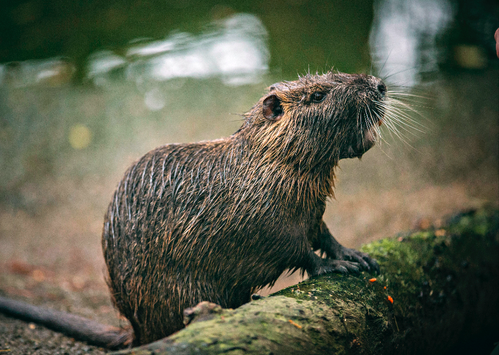 From this angle, nutria seem a bit more palatable, maybe even cute...