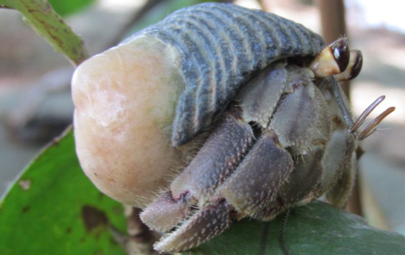 An adult male hermit crab of the species <em>Coenobita compressus</em> ambling along on a leisurely stroll.