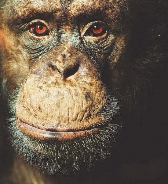 Carl, an alpha-male chimpanzee at Copenhagen Zoo and one of the participants in the study.