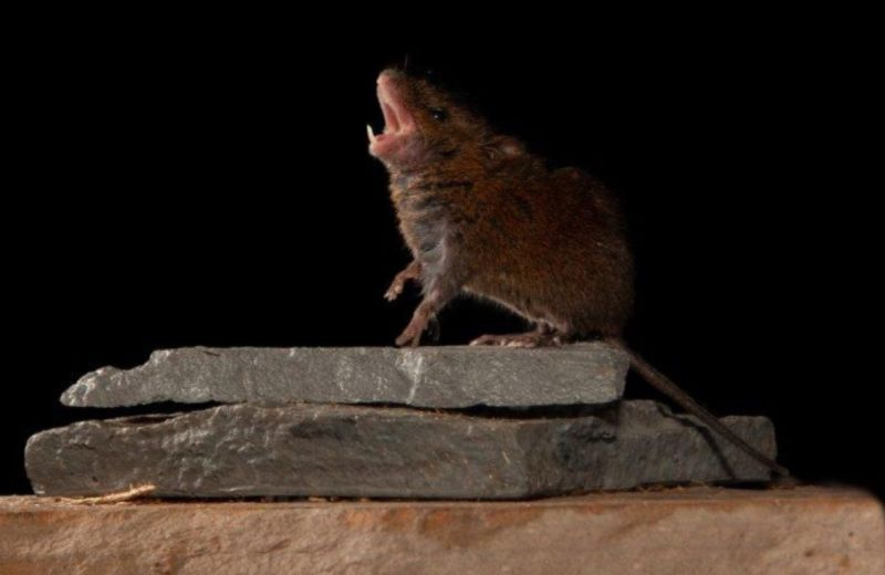 "This singing mouse species (<em>Scotinomys teguina</em>) thrives in the cloud forests of Costa Rica. Their songs could yield clues about how human brains accomplish the ""turn-talking"" that makes conversation possible."