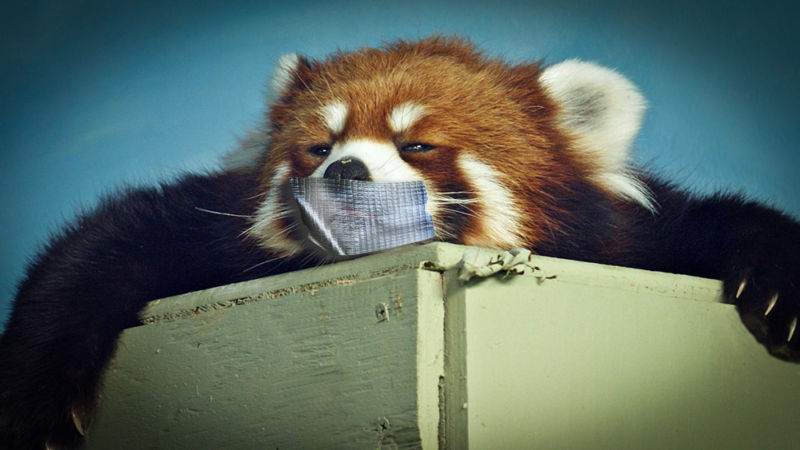 No red pandas were harmed in the making of this image, I promise.
