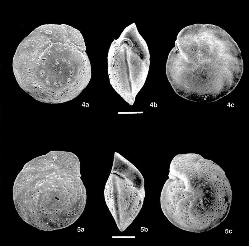 Wee foraminifera, whose should contain chemical clues to past climates.