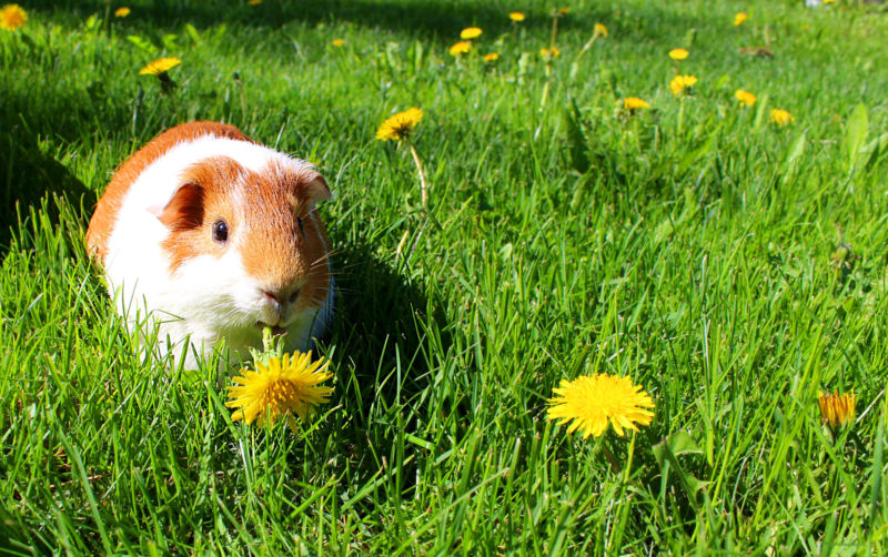 A painfully adorable guinea pig sits amidst green grass.