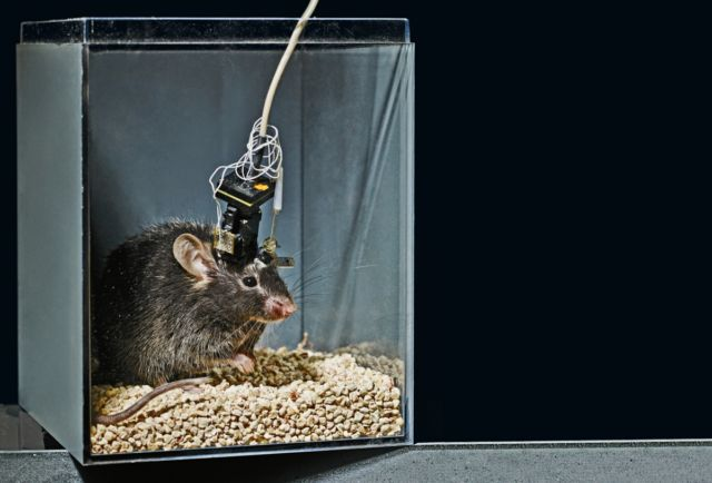 A research mouse with a super-light electrode monitoring the neurons in her brain. It is just one of several recently developed techniques for rendering neurons much more detailed.