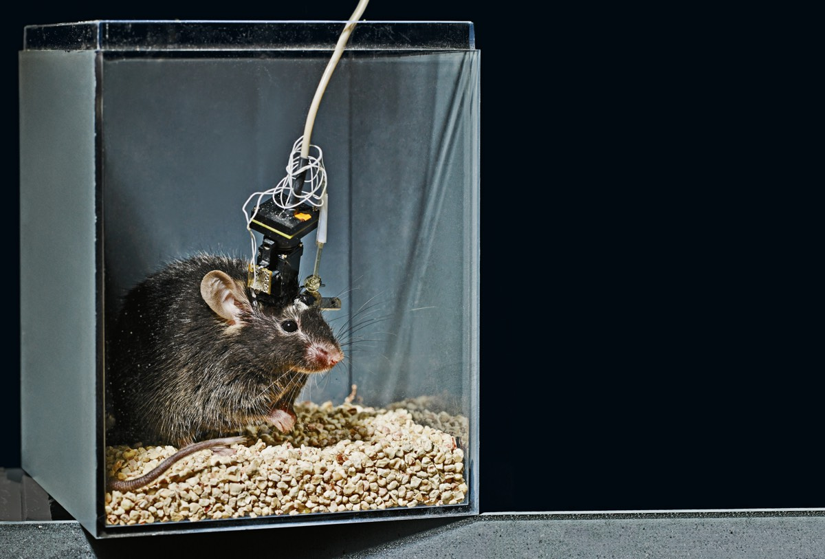 A research mouse fitted with a superlight electrode monitoring the neurons in its brain. It's just one of several recently developed techniques for imaging neurons in much greater detail.