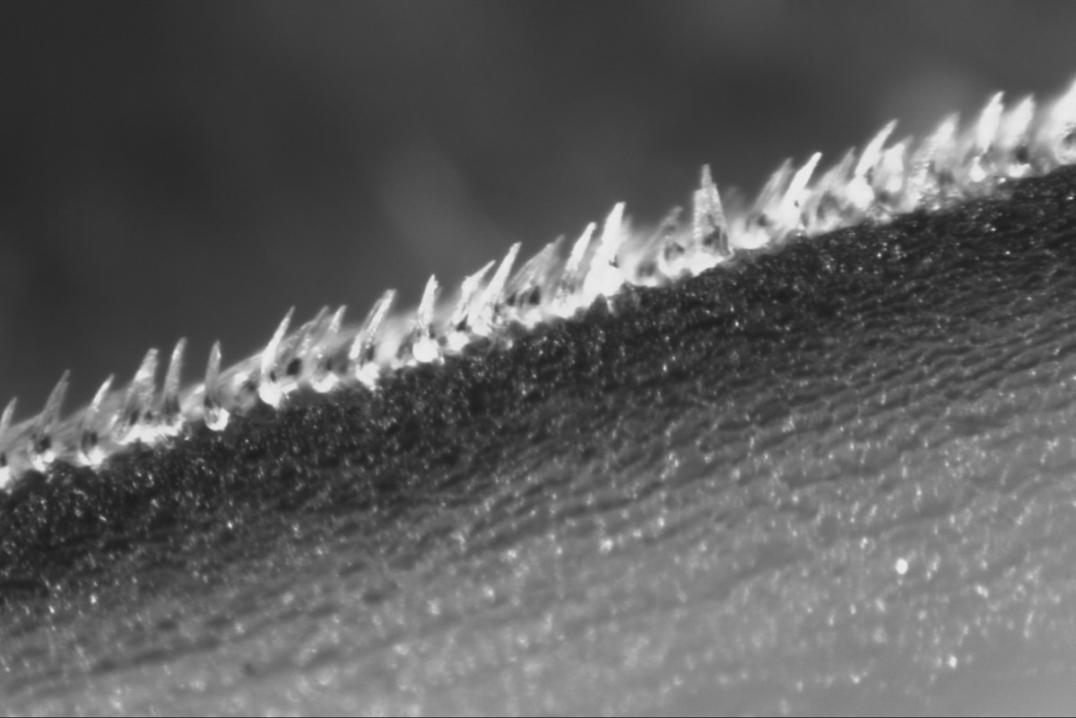 Close-up image of shortfin mako shark scales, called denticles, each measuring about 0.2 millimeters in length.