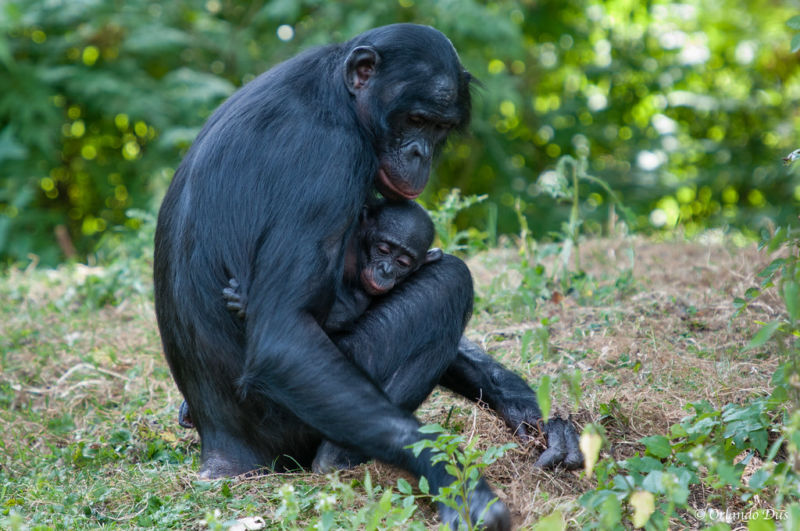 Bonobos carrying the footprint of an ancient, extinct species of ape.