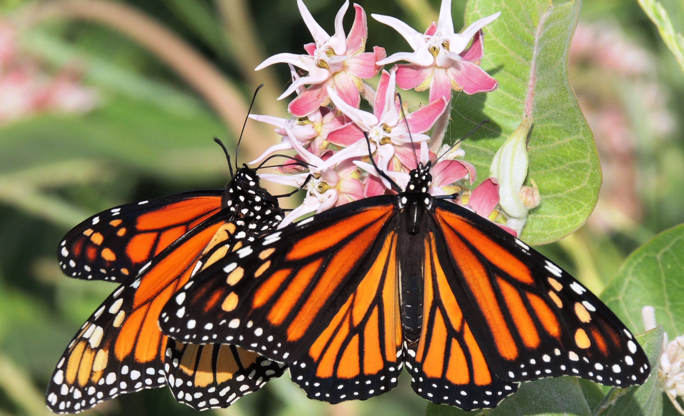 Declining Monarch Butterfly Populations May Be Hard To