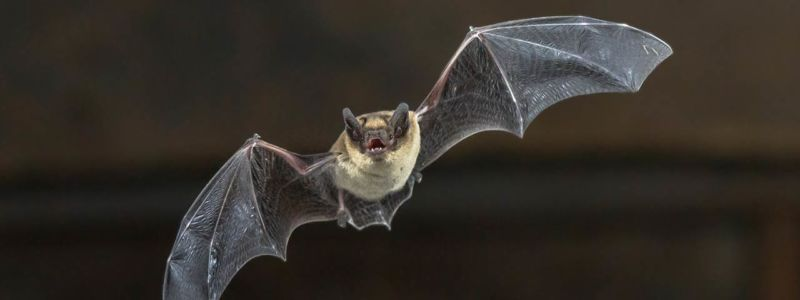 Image of a bat in flight.