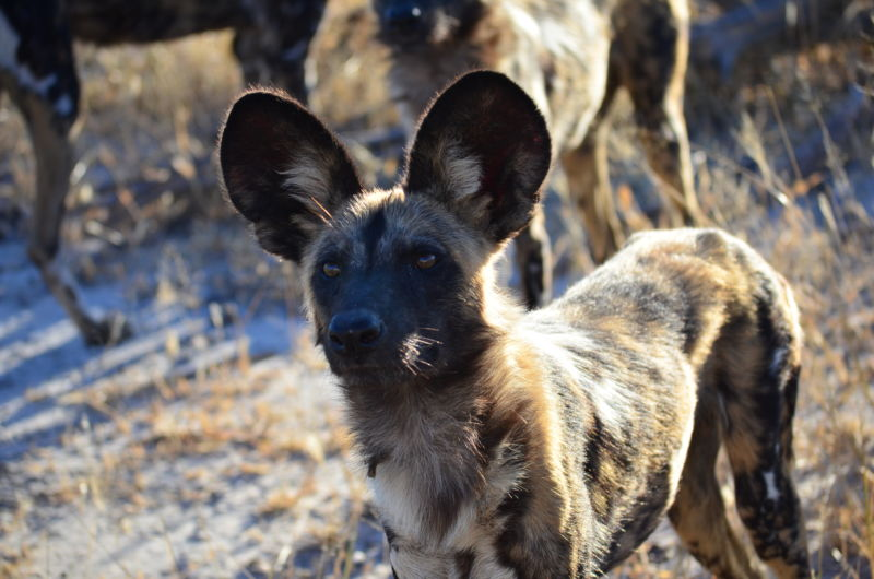 A pack of African wild dogs.