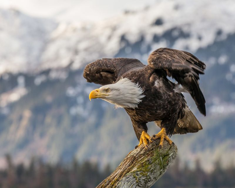 Color photo of a bald eagle perched on a branch, preparing to take flight, with mountains in the background