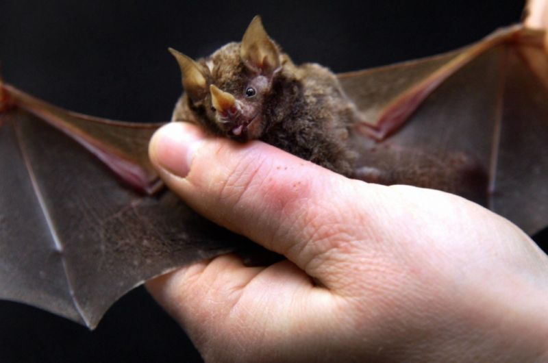 "These bats can use leaves as ""sound mirrors"" for better navigation"