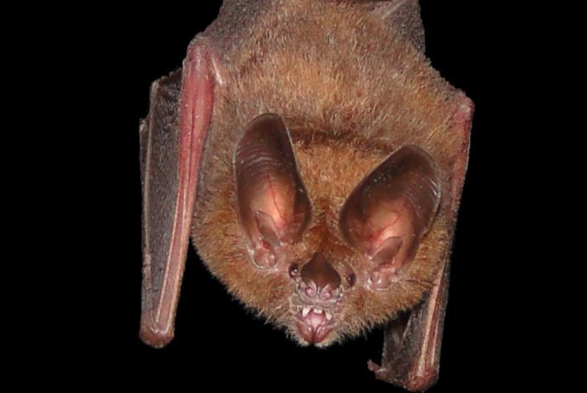 This bat gleans insects from leaves. By approaching a leaf at an oblique angle, it can use its echolocation system to detect stationary insects in the dark.