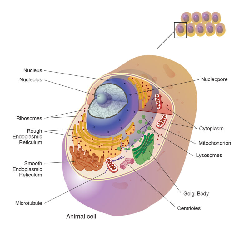 Image of a complex cell with its parts labelled.